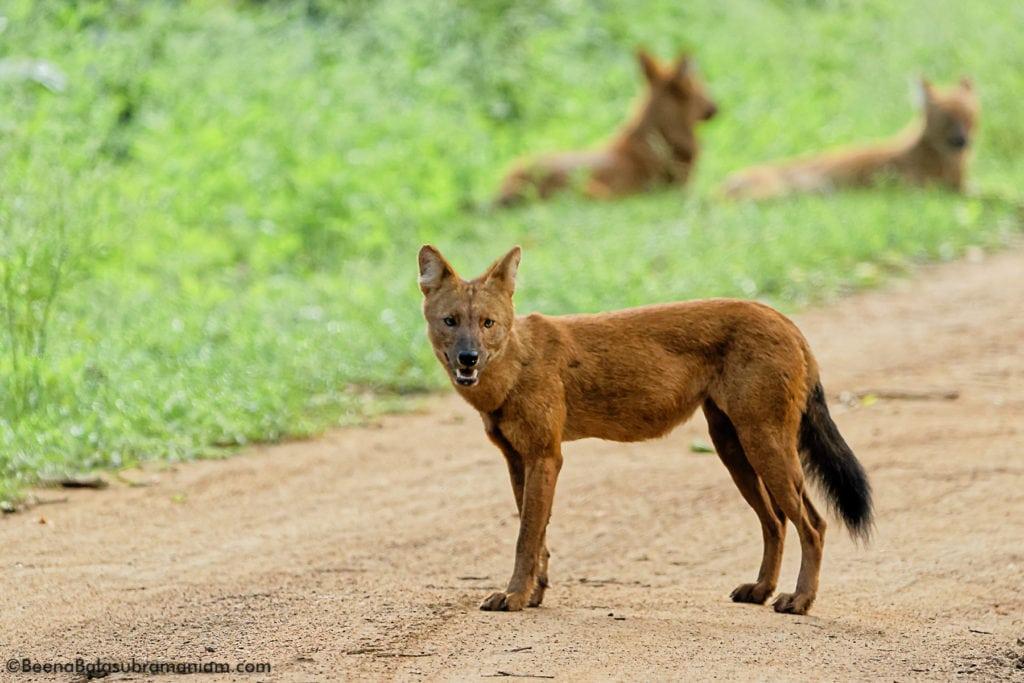 wild dog Dhole _ Kabini 2
