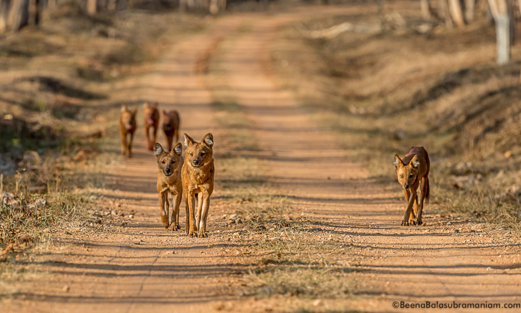 The pack of 11 Dholes in Nagarhole National Park