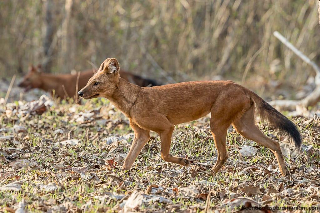 Trotting away in Nagarhole National Park 2