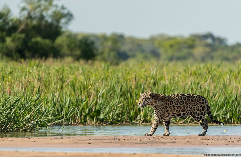 Butterflies and the powerful Jaguar