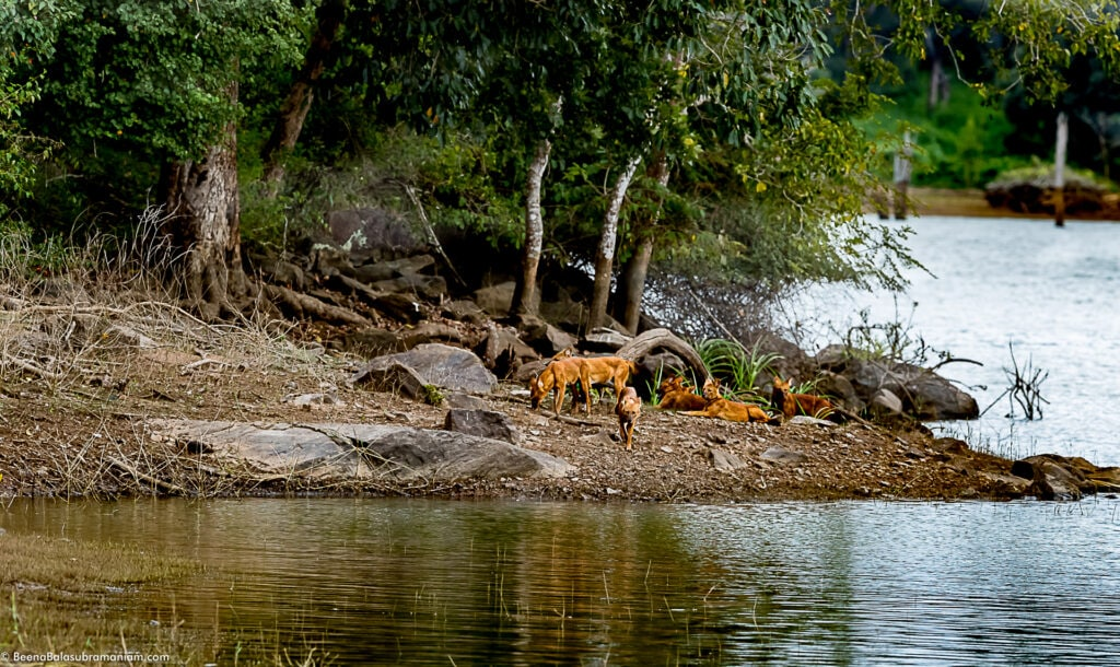 Dholes resting by the Kabini back waters