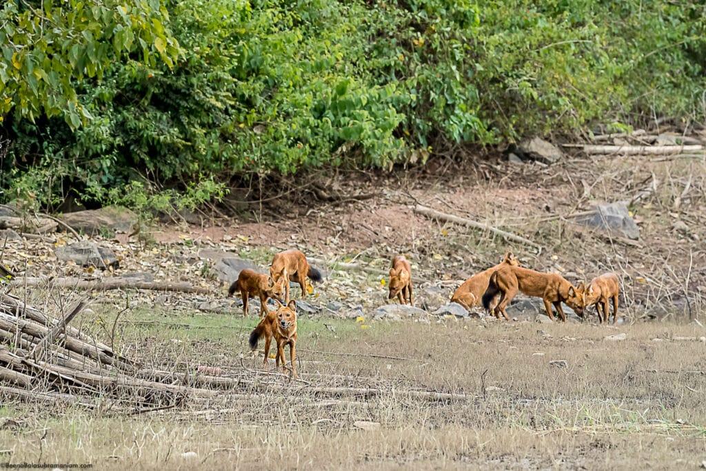 Dholes at the Kabini back waters 1
