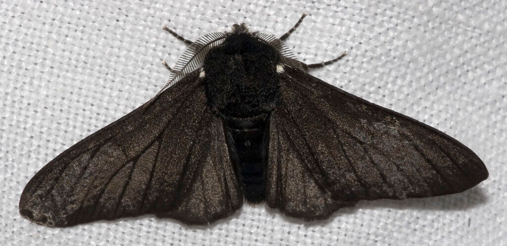 The black peppered moth