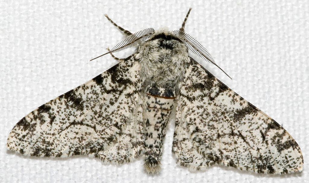 The pale-white peppered moth
