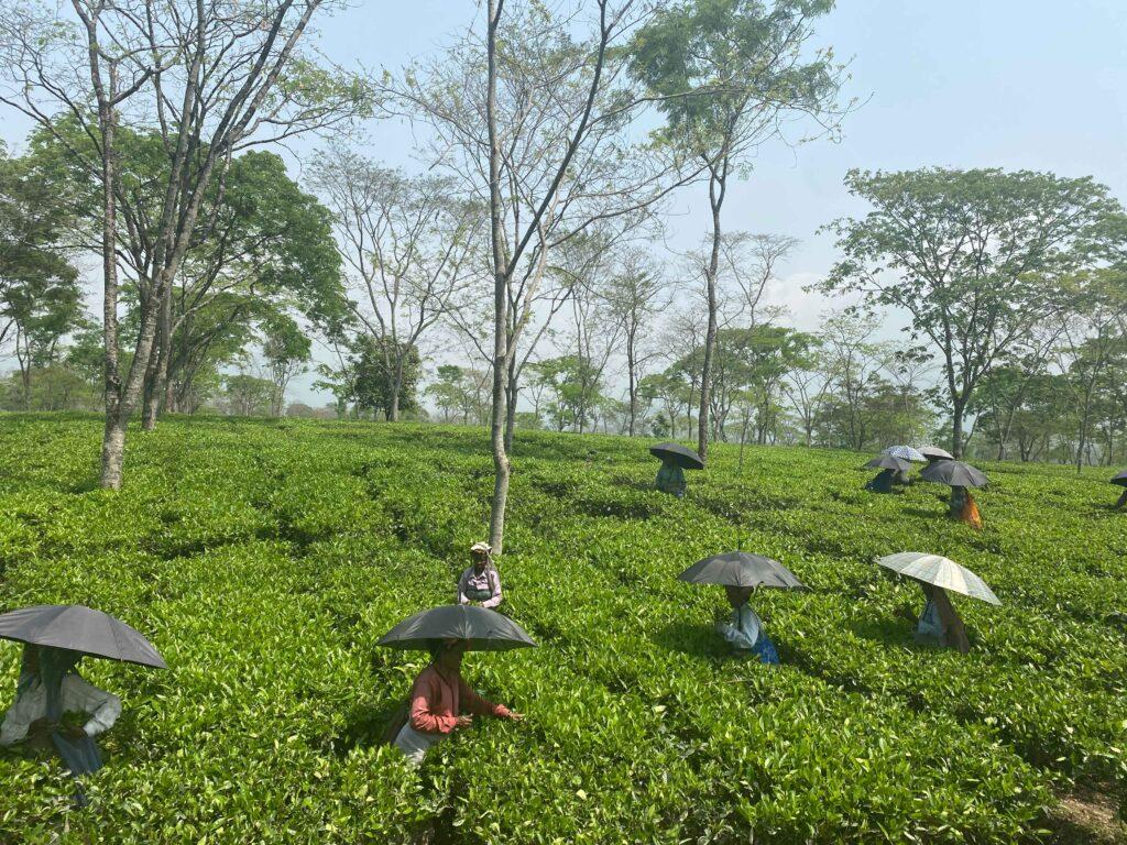 Octavius Tea's tea estate in West Bengal