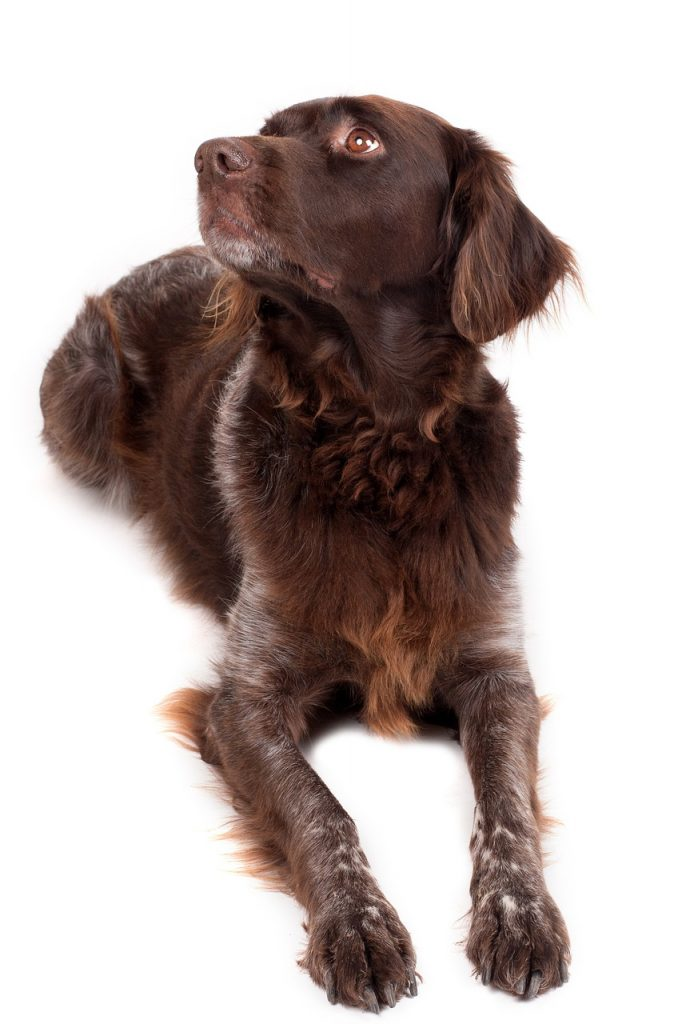 dog, brown, pet