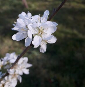 white flowers of damson blossom - taken here at Equenergy: Wellbeing Naturally