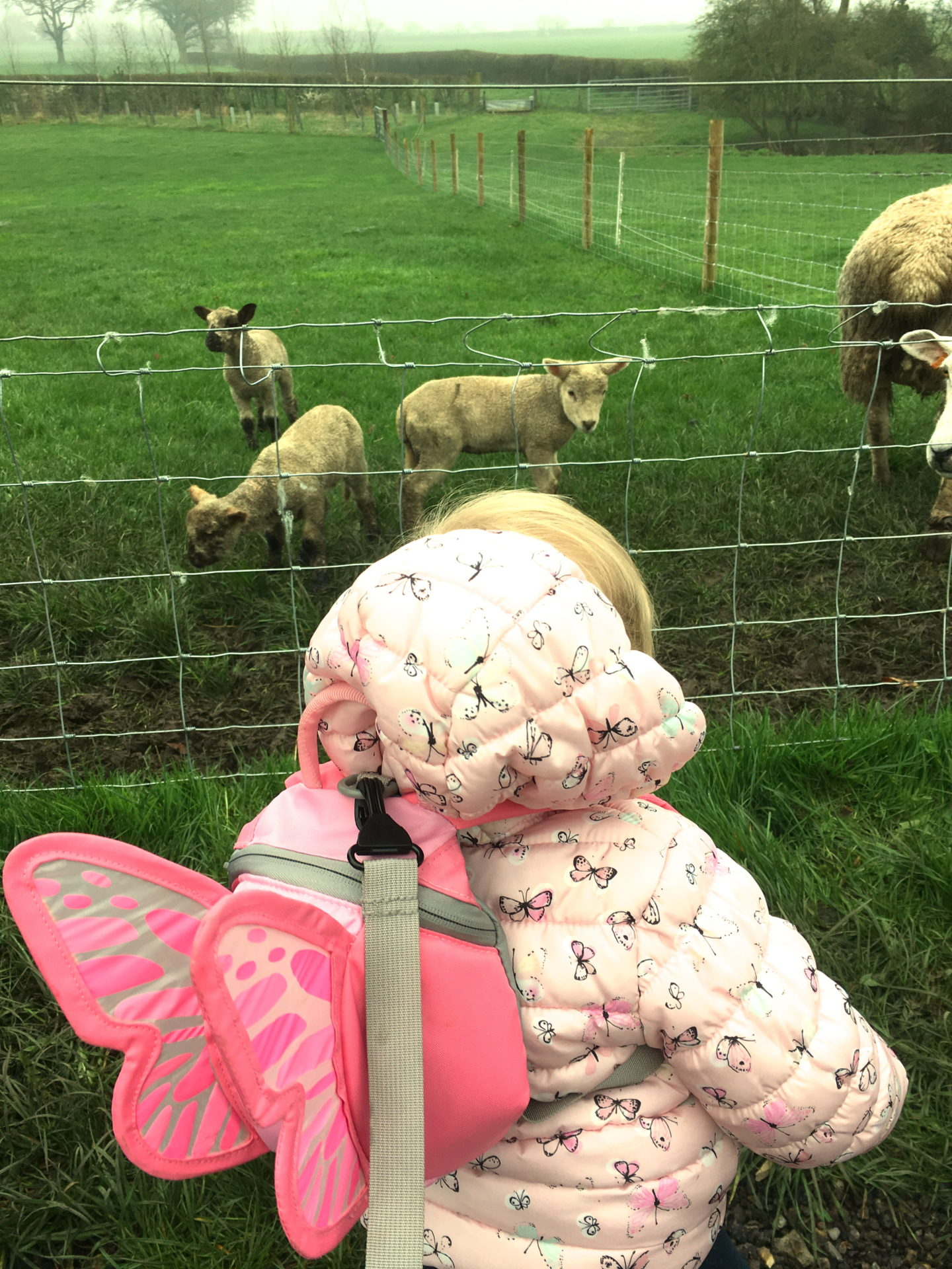 14 month old girl with back to the camera, looking at a field of sheep and lambs