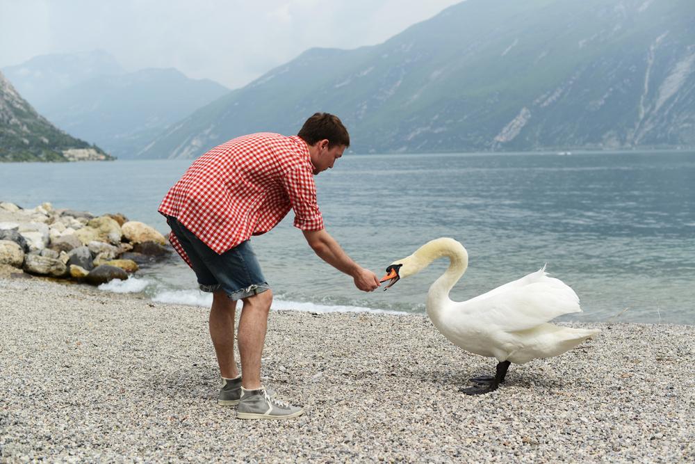 Fedding swans