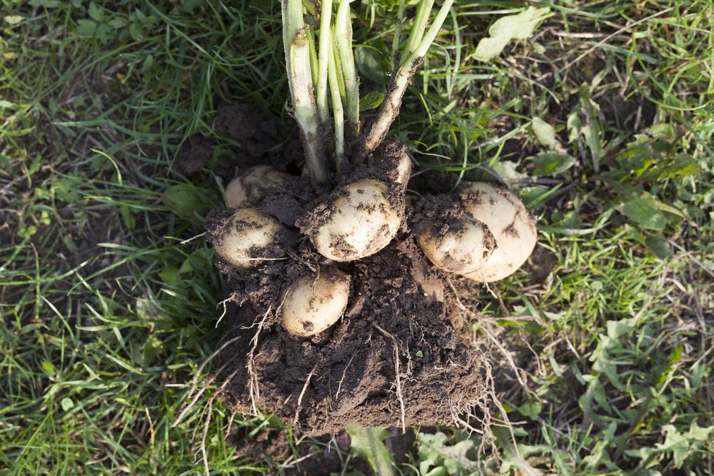 Scottish potato famine