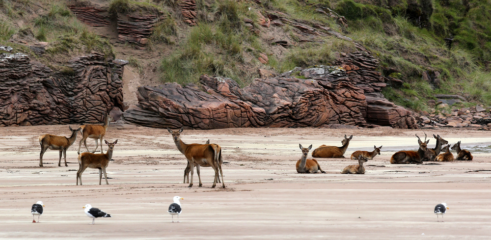 Isle of Rum deer