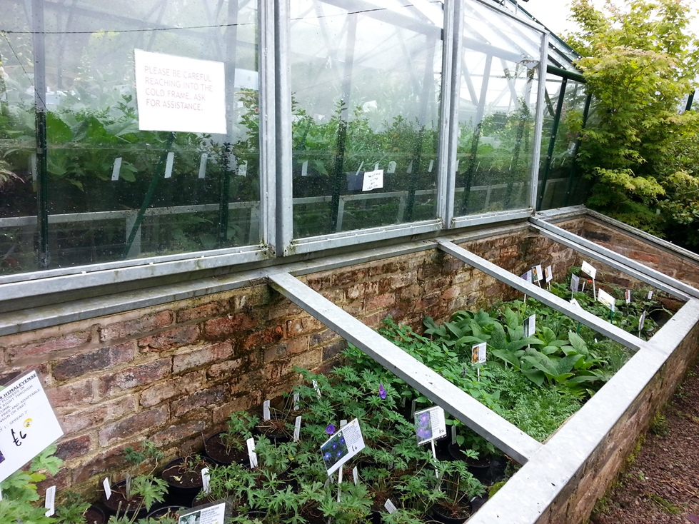 Young plants 'hardening off' in the cold frame