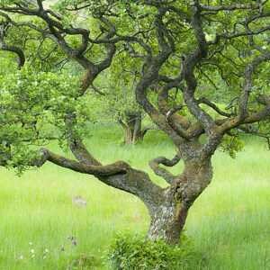Celtic tree calendar Alder