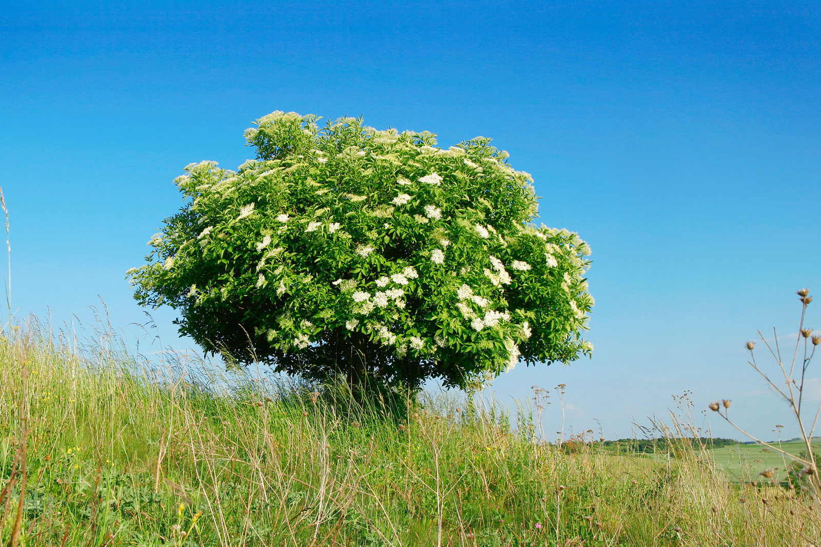 Celtic tree calendar Elder