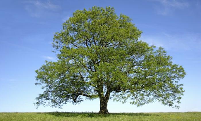 Celtic tree calendar Ash