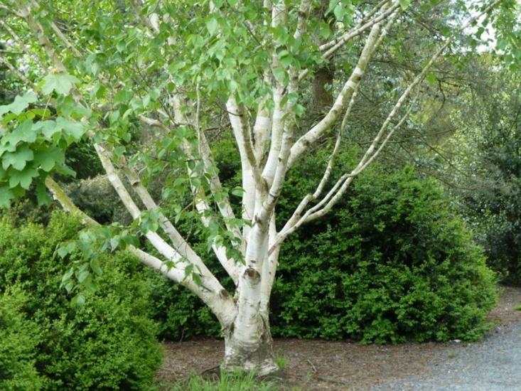 Celtic tree calendar birch