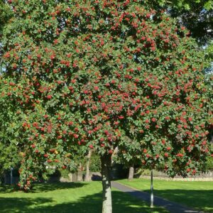 Celtic tree calendar Rowan