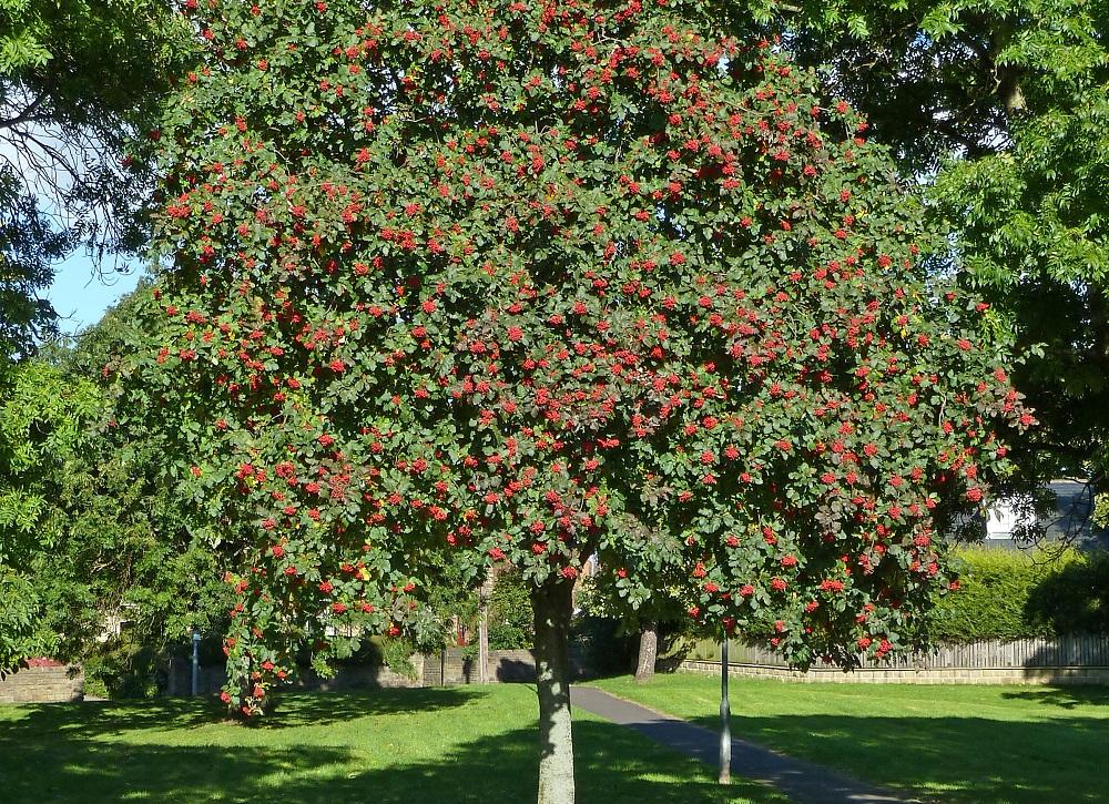 Celtic tree calendar Rowan