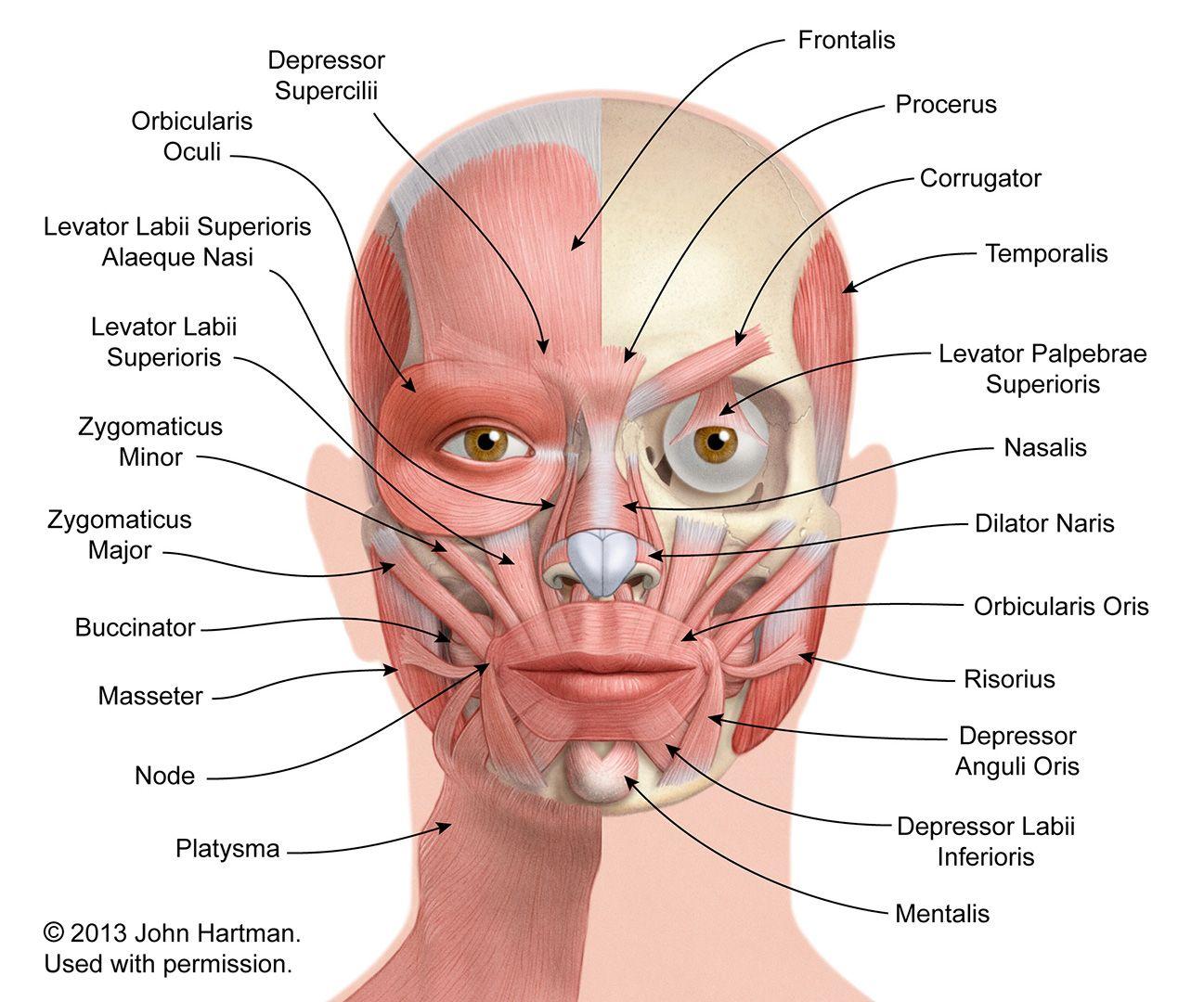 facial musculature