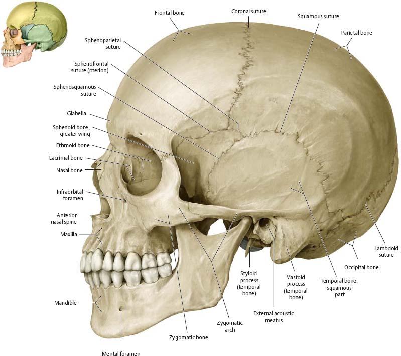 anatomy and physiology head bones