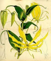 ylang ylang botanical