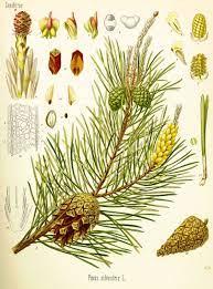 pine botanical