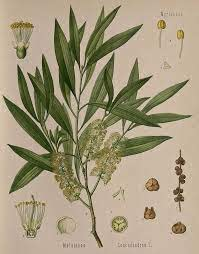 Tea tree botanical
