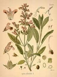 clary sage botanical