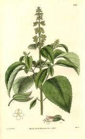 basil botanical