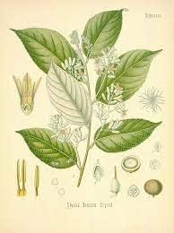 Benzoin Botanical