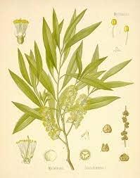 cajeput botanical
