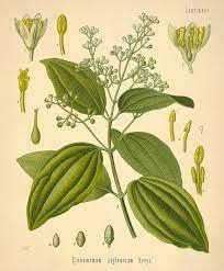 cinnamon botanical