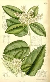 citronella botanical