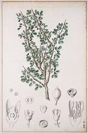 myrrh botanical