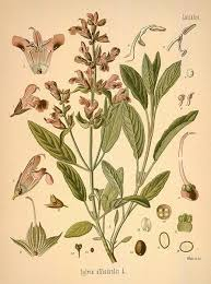 sage botanical