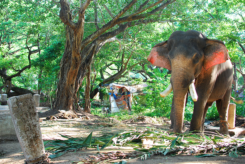 Punnathurkotta – the elephant sanctuary