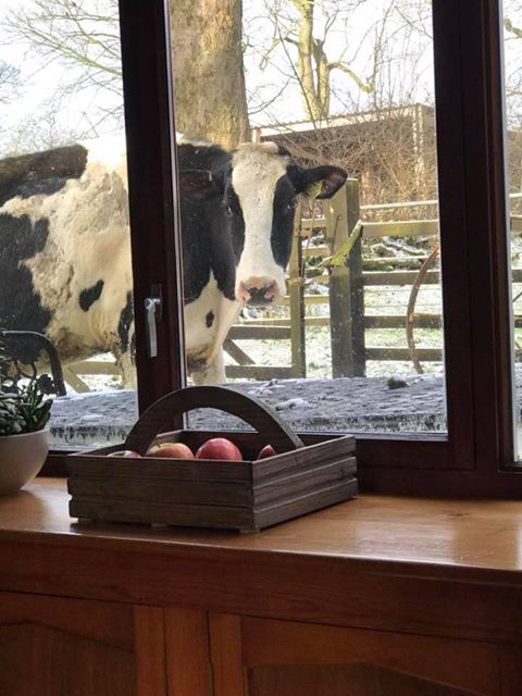 Cows looking through the window of the farm