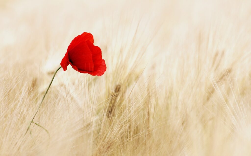 A poppy in a field representing Tall Poppy Syndrome