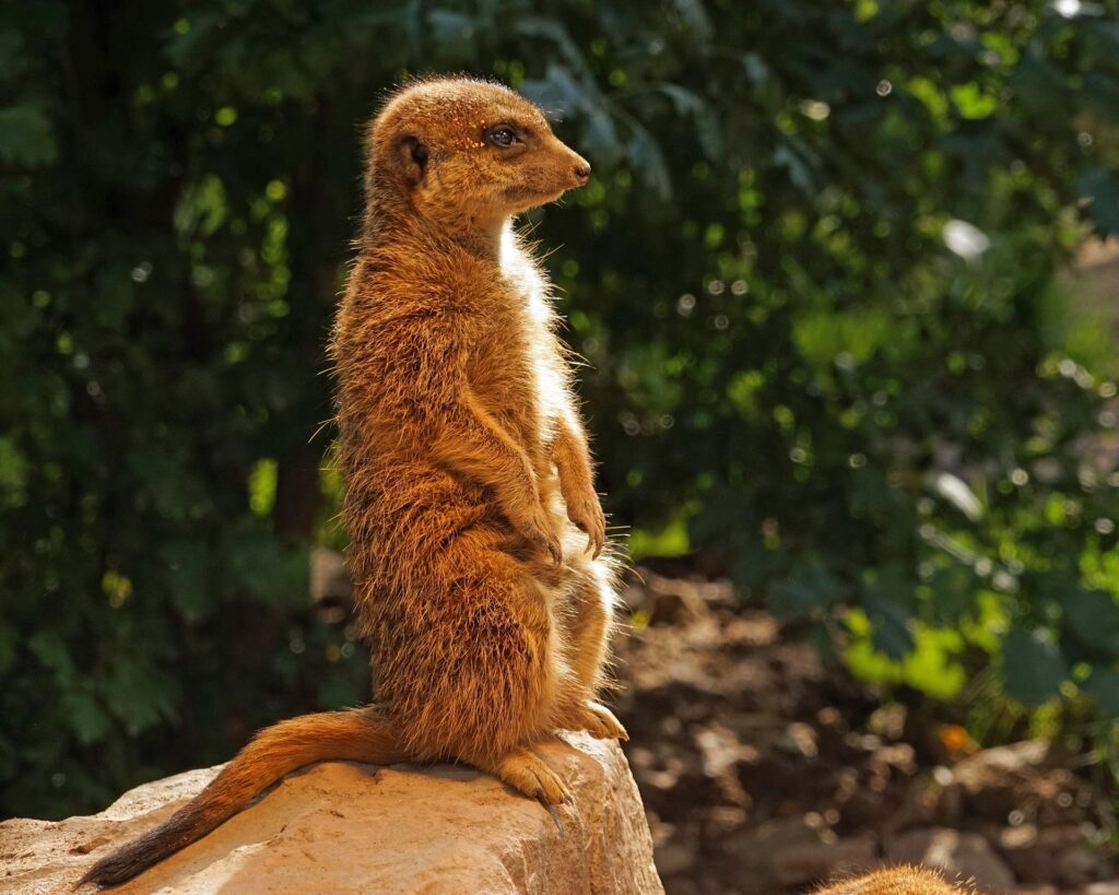 A meerkat paying attention the first stage of Monroe's Motivated Sequence
