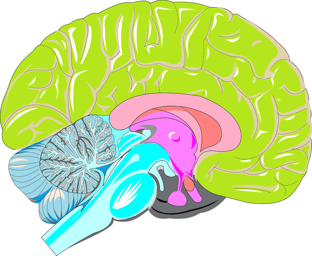 A diagram of the brain showing the systems involved in Amygdala Hijacking Fight or Flight