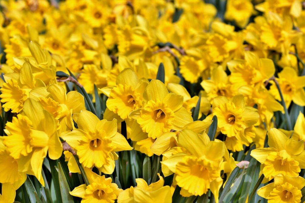 A field of daffodils, or narcissus, which give their name to one of the Dark Triad of Personality Types