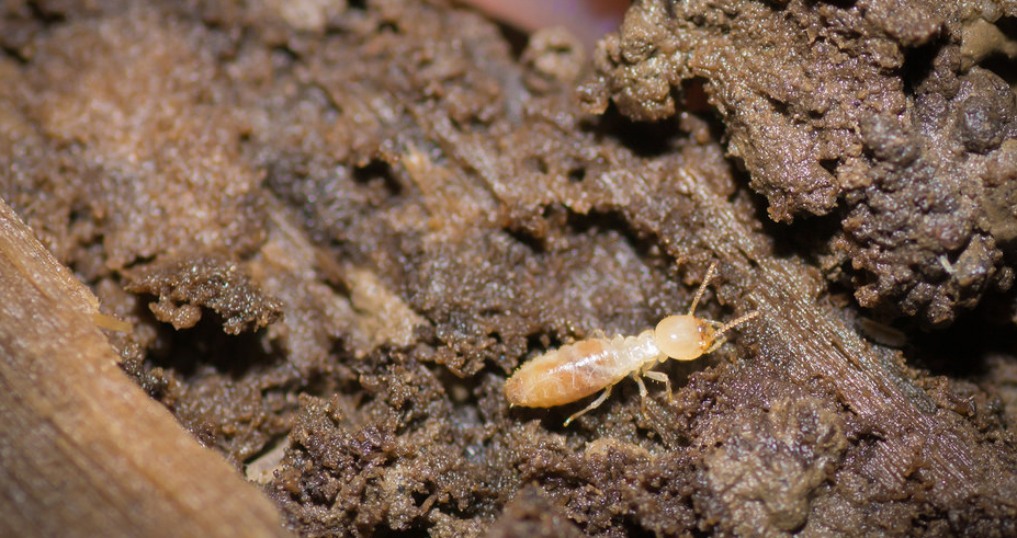 Tips To Decrease The Chance Of A Termite Attack