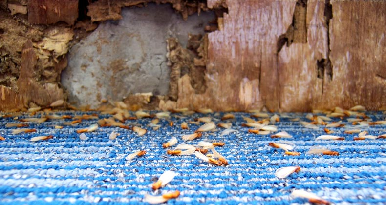 Termites And The Structure Of Your Home