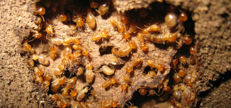 Are You Aware Of Harmful Effects Of Termites?