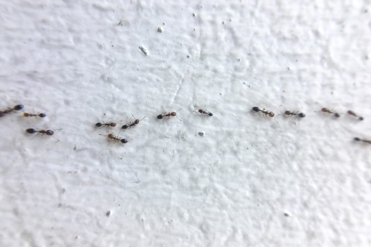 How to manage Carpenter Ants