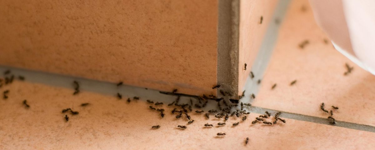 Pest Control Services to get rid of Ants