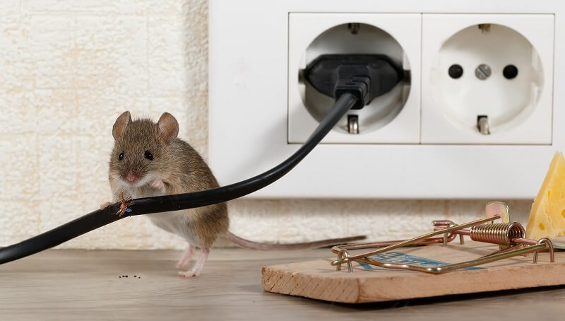 Need to Protect your House from Rodent Damage