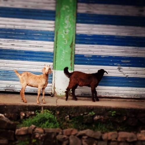 Livestock Distribution