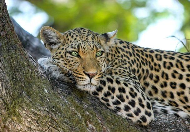 leopard-515509_640