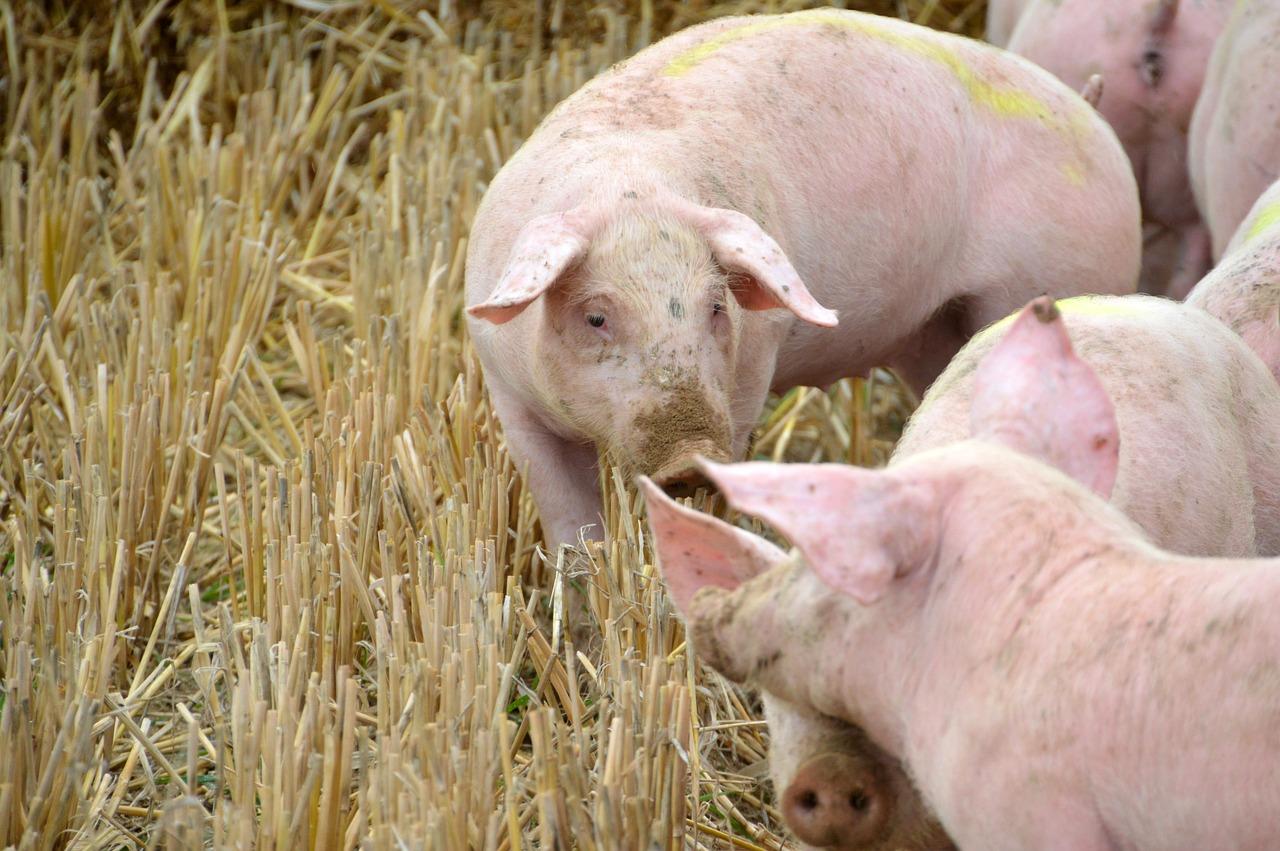 breeding, pig, pork